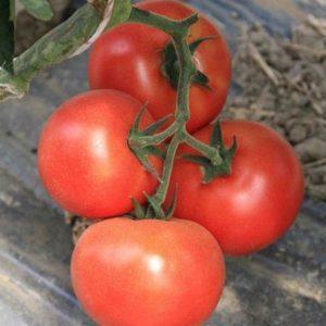 pr-agro-buran-f1-tomat-enza-zaden