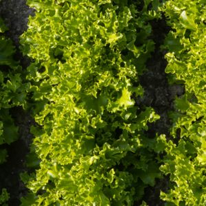 pr-agro-grinali-f1-salat-lollo-blonda-enza-zaden