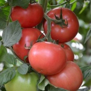 pr-agro-kanna-218-f1-tomat-seminis