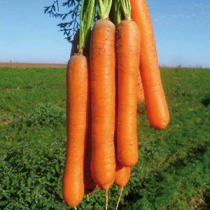 pr-agro-karvora-f1-morkov-seminis