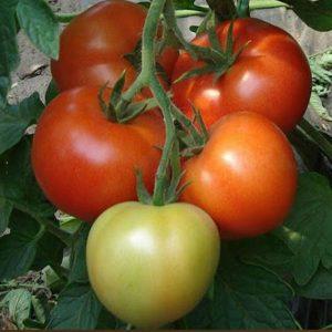 pr-agro-monsan-f1-tomat-enza-zaden