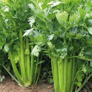 pr-agro-sienna-f1-selderej-enza-zaden
