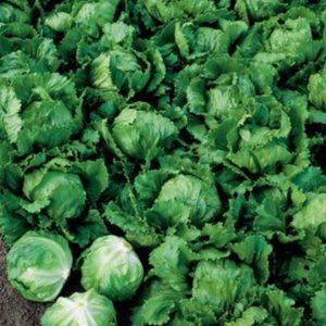 pr-agro-stallion-f1-salat-ajsberg-seminis