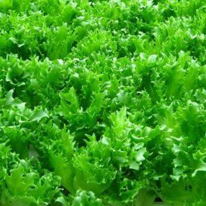 pr-agro-sv-3035-f1-salat-seminis