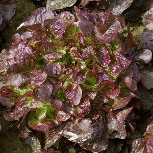 pragro-vulsini-f1-salat-seminis